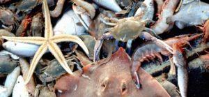 Shrimp bycatch